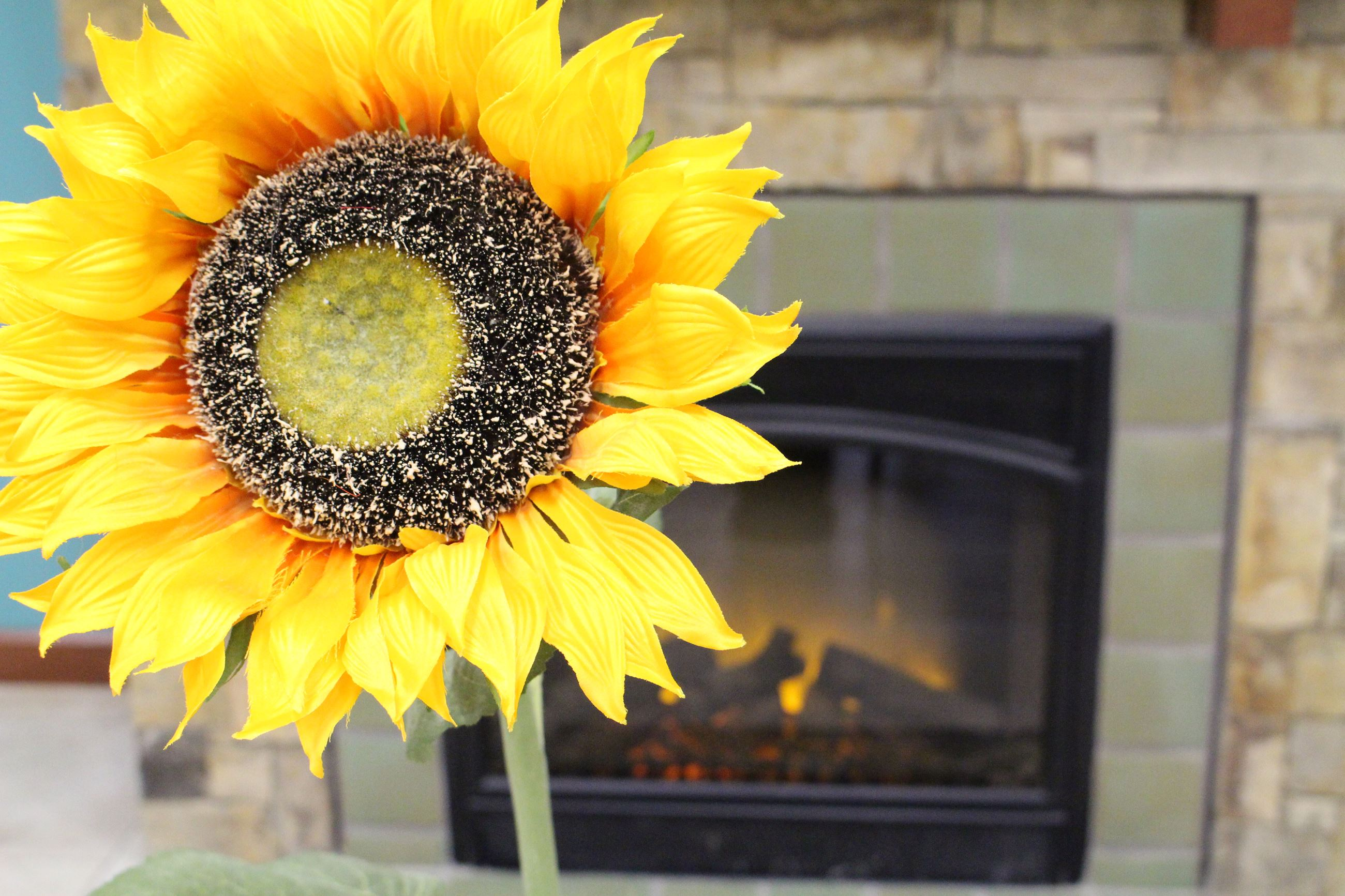 Closeup of bright yellow sunflower in front of the fire place at the McPherson Museum