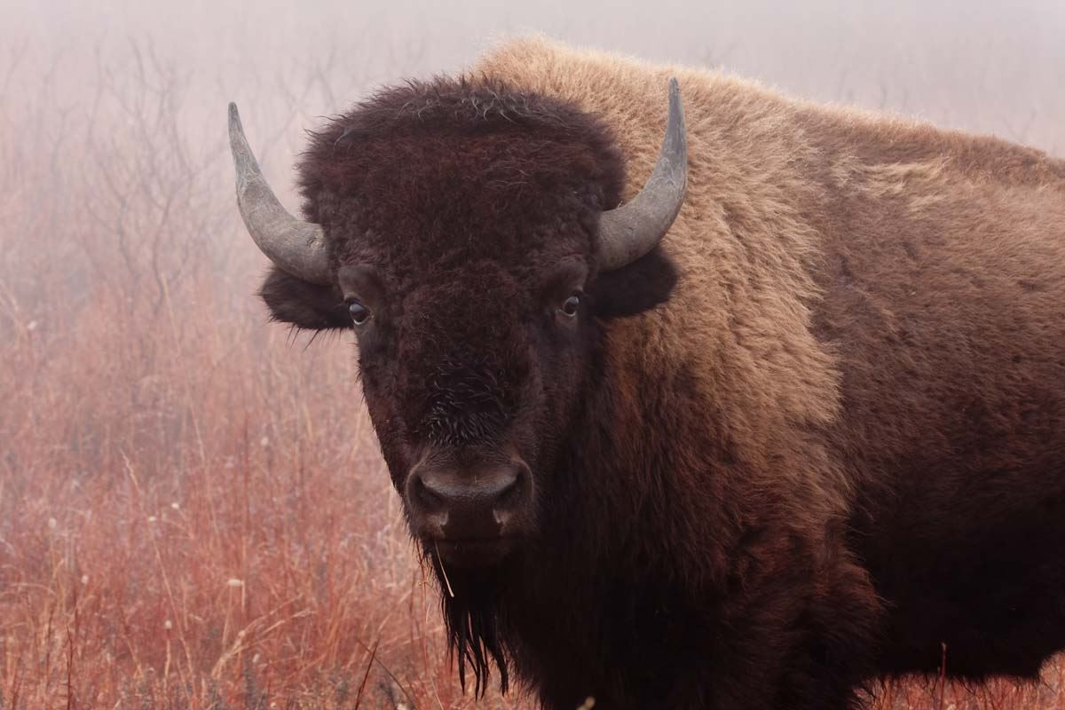 Photo of a bison at the Maxwell Wildlife Refuge.
